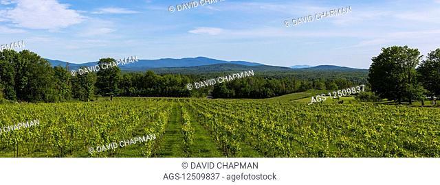 Frontenac Gris grapes growing in a lush, green vineyard; Shefford, Quebec, Canada