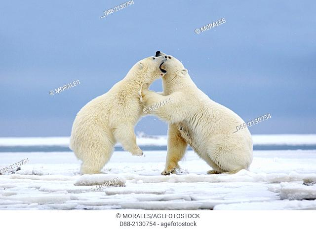 United States,Alaska,Arctic National Wildlife Refuge,Kaktovik,Polar Bear( Ursus maritimus),mother with one cub playing with the mother along a barrier island...