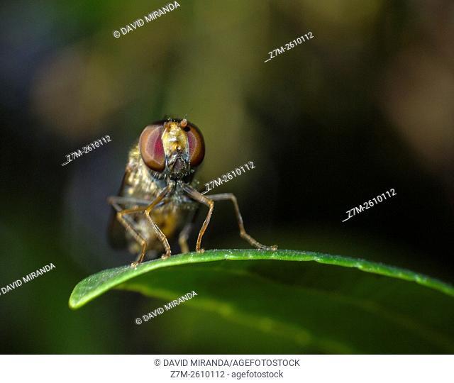 Pied hoverfly (Scaeva pyrastri) on leaf. Fam. Syrphidae. Order; Diptera. Macro. Sierra de Guadarrama. Madrid province. Spain