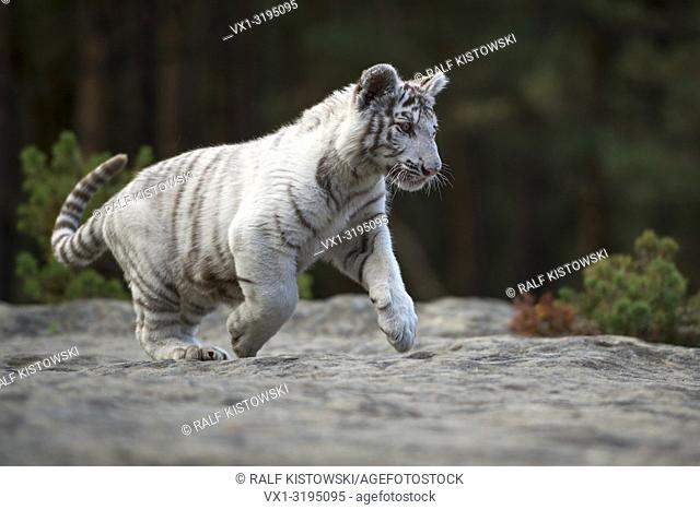 Bengal Tiger (Panthera tigris), white, young animal, adolescent, running, jumping over some rocks along the edge of a forest, full of joy, joyful