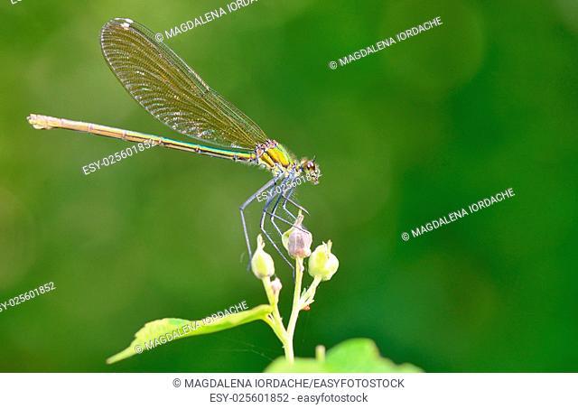 Macro dragonfly in forest (coleopteres splendens)