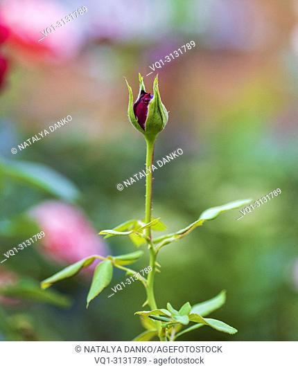 unblown red rose bud with green leaves in the garden, close up
