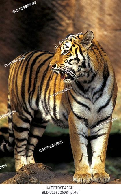 animals, carnivora, big cat, aichner
