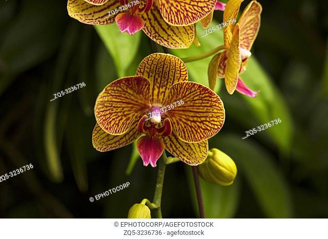 Moth orchid, Phalaenopsis amabilis, Jurong Bird Park, Singapore