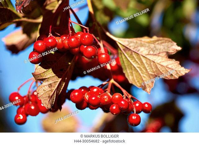 Berry, red, snowball, common snowball, Viburnum opulus, fruit, usual snowball, Herzbeer, bird's spreading, Blutbeer, steam berry, Drosselbeerstrauch