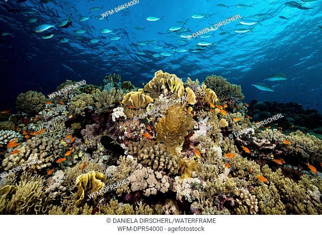 Hard Coral Reef, Shaab Rumi, Red Sea, Sudan