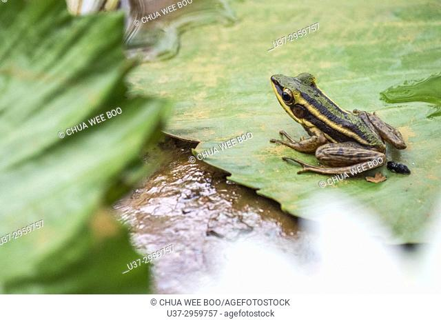 Green Frog in water lilies pond at MBKS Garden, Kuching, Sarawak, Malaysia