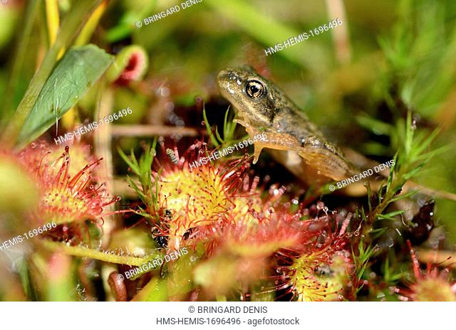 France, Vosges, Gerardmer, bog frog (Rana temporaria) just completed its metamorphosis, placed on Sundew (Drosera rotundifolia)