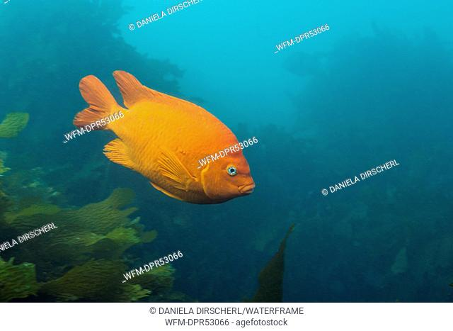 Garibaldi Fish, Hypsypops rubicundus, San Benito Island, Mexico
