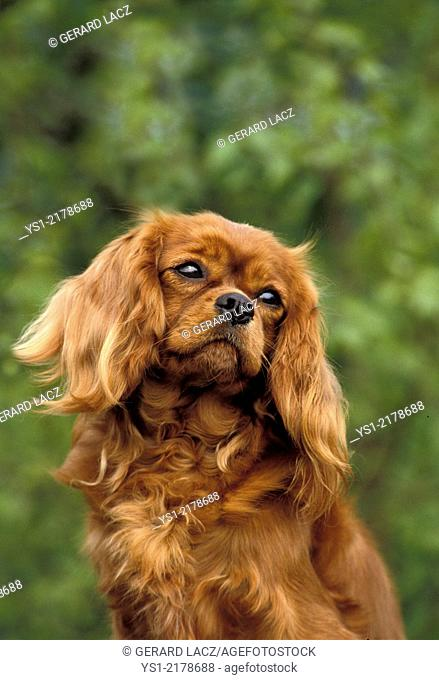 Cavalier King Charles Spaniel, Portrait of Dog