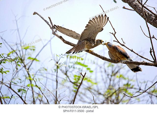 Two aggressive Lesser kestrel (falco naumanni). This species breeds from the Mediterranean across southern central Asia to China and Mongolia