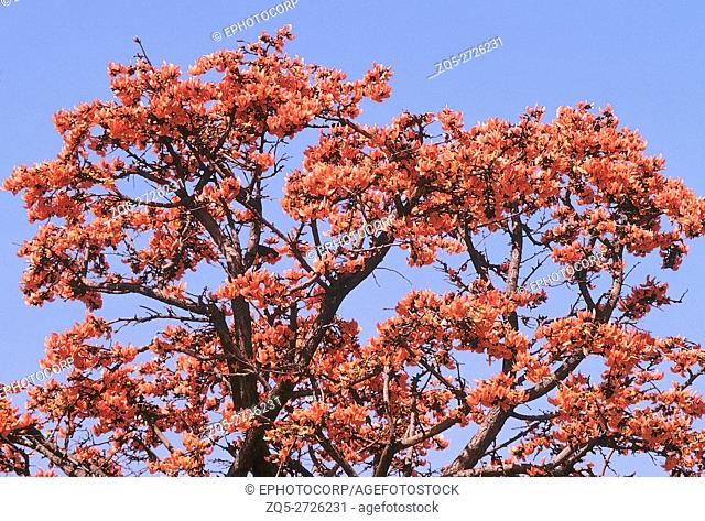Tree in bloom. Butea Monosperma. Flame of the Forest. Family: Fabaceae. A medium-sized deciduous tree with beautiful flowers