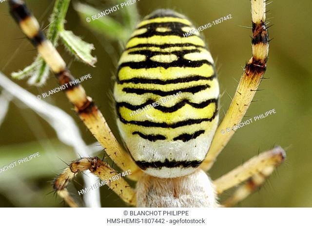 France, Morbihan, Araneae, Araneidae, Wasp spider (Argiope bruennichi), Closeup of the female abdomen