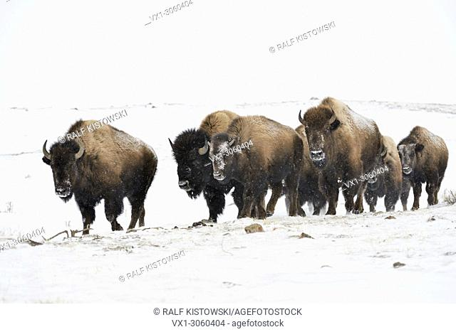 American Bison / Bisons (Bison bison), small herd in winter, walking through blowing snow, typical surrounding, Yellowstone area, Montana, USA