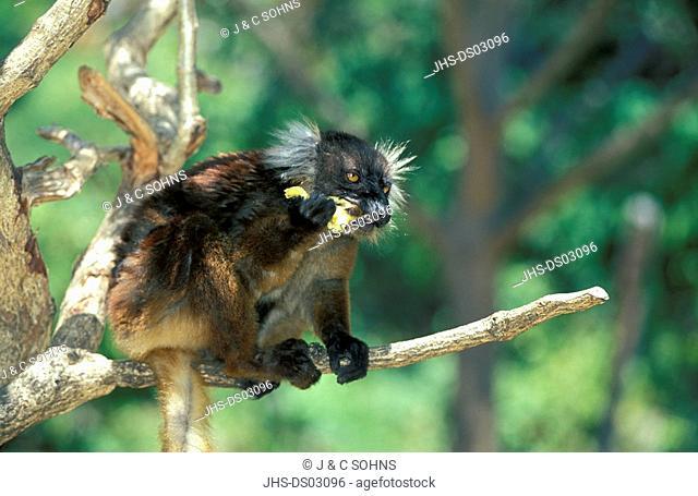 Black Lemur,Lemur macaco,Nosy Komba,Madagascar,Africa,adult female feeding on tree