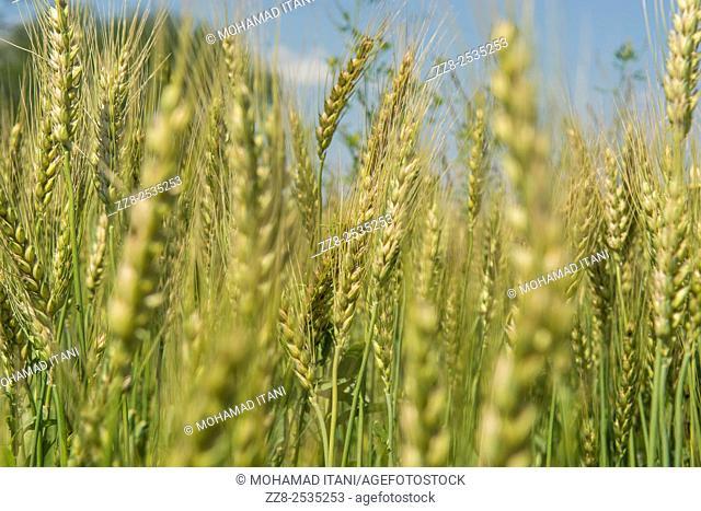 Wheat field Jhelum Pakistan