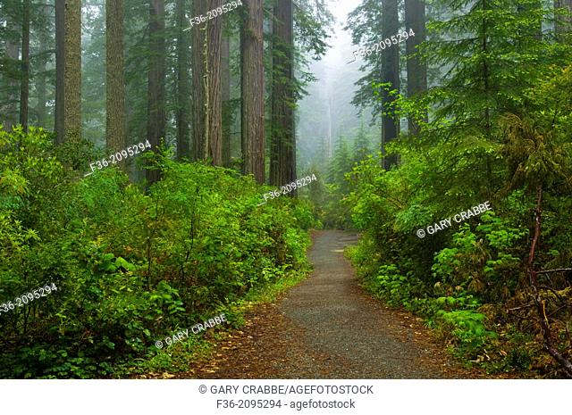 Trail through Redwood trees and forest in the fog and rain, Lady Bird Johnson Grove, Redwood National Park, California