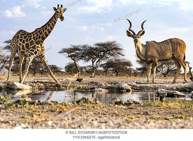 Giraffe and greater kudu drinking at waterhole - Onkolo Hide, Onguma Game Reserve, Namibia, Africa