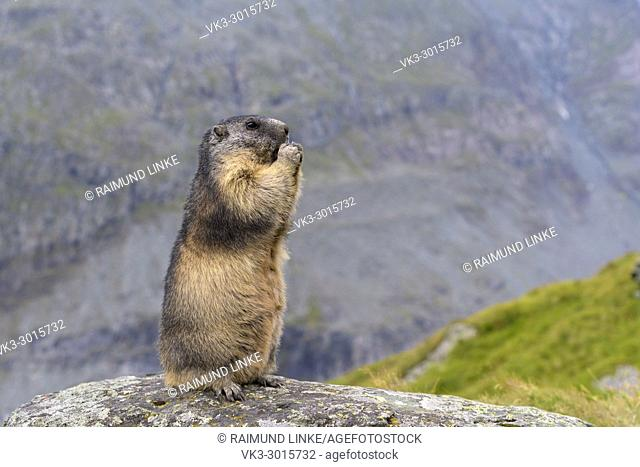 Alpine Marmot, Marmota marmota, standing, Hohe Tauern National park, Austria