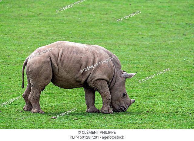 White rhino / Square-lipped rhinoceros (Ceratotherium simum) calf grazing grass