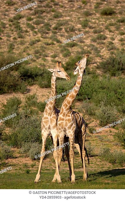 Giraffe (Giraffa giraffa giraffa), Kgalagadi Transfrontier Park, Kalahari desert, South Africa/Botswana