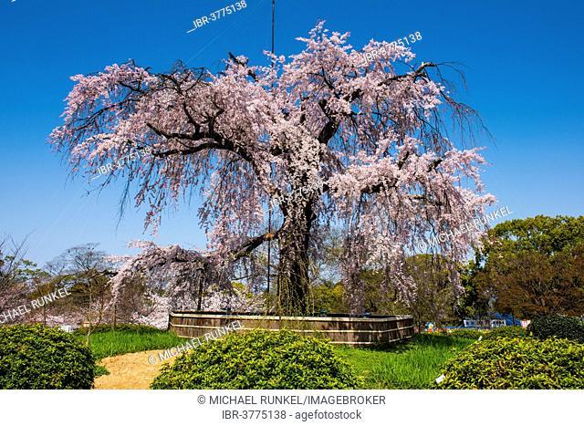 Cherry blossom, Maruyama-Koen park, Kyoto, Japan