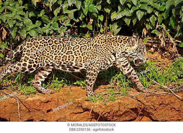 South America, Brazil, Mato Grosso, Pantanal area, jaguar Panthera onca, walking