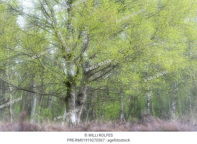Birch tree in Moor, Lower Saxony, Germany / Birke im Moor, Niedersachsen, Deutschland