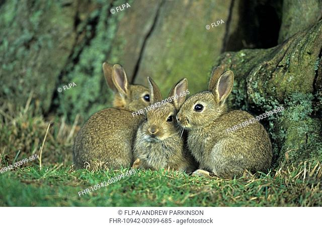 European Rabbit Oryctolagus cuniculus Three young huddle outside warren - Bradgate Park, Leicestershire, England