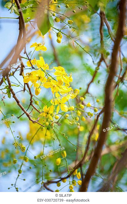 Golden Shower, Purging Cassia ( Cassis fistula Linn ) Thailand national flower