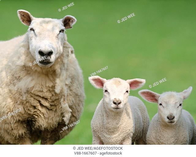 A mother ewe with a pair of lambs, domestic sheep, Ovis aries in a field in North Yorkshire, England