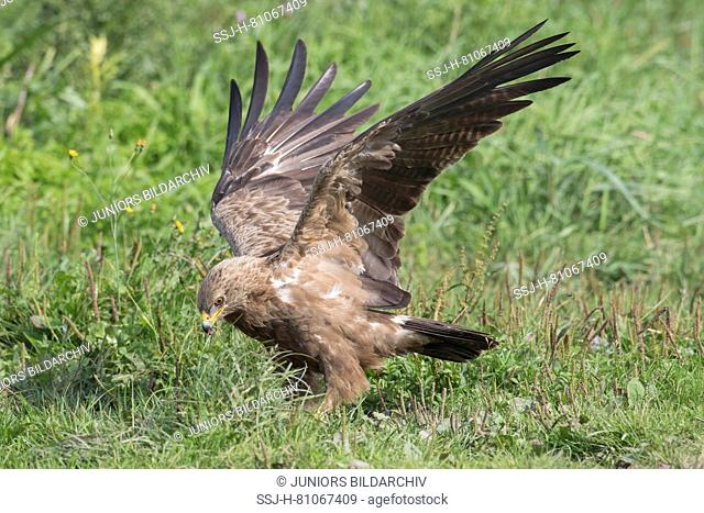 Lesser Spotted Eagle (Aquila pomarina). Adult standing on the ground, with wings stretched. Germany