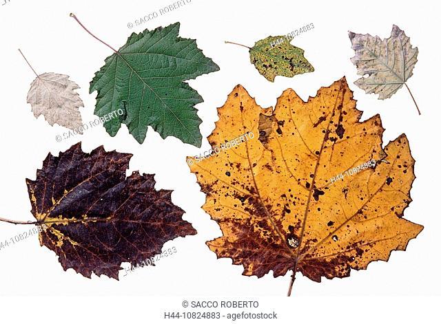 white poplar, Populus alba, poplar, leaf, leaves, foliage, autumn, autumn colours studio