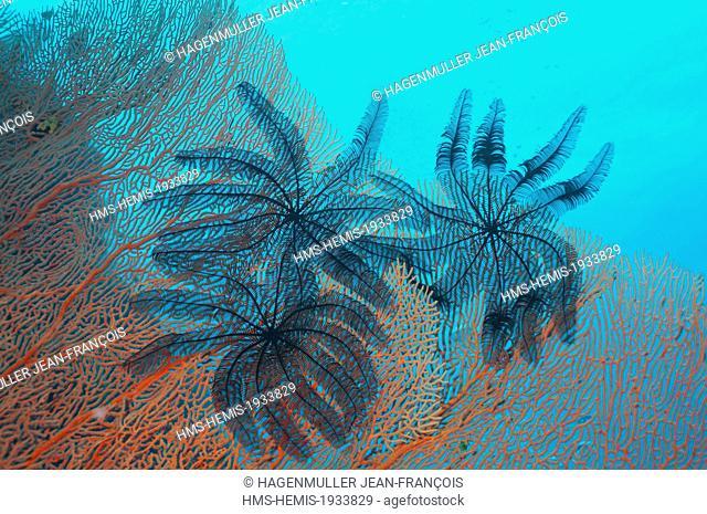Philippines, Visayas, Cebu, Sawtoothed feather star (oligometra serripinna) in the Sulu sea