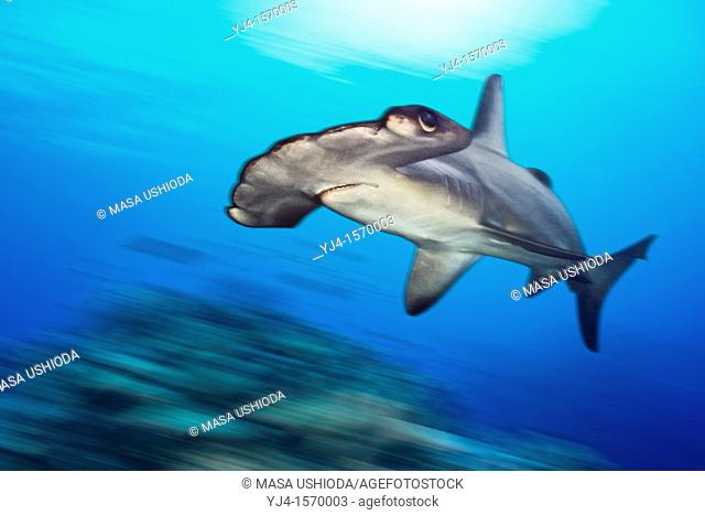 scalloped hammerhead shark, Sphyrna lewini, swimming over hard coral reef, Hawaii, USA, Pacific Ocean, digital composite