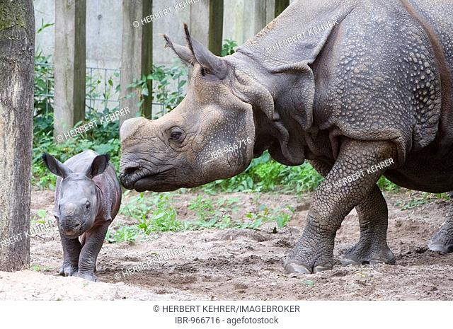 Indian Rhinoceros, Great One-horned Rhinoceros or Asian One-horned Rhinoceros (Rhinoceros unicornis) with young
