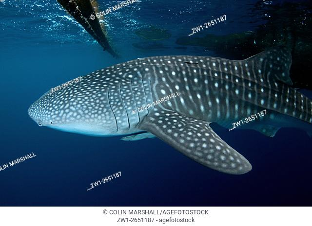 Whale Shark (Rhincodon typus) with Remoras near fishing raft (Bagan), Cenderawasih (Bird of Paradise) Bay, West Papua, Indonesia