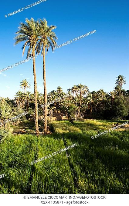 Lower level farming, Date Palm oasis, Figuig, province of Figuig, Oriental Region, Morocco