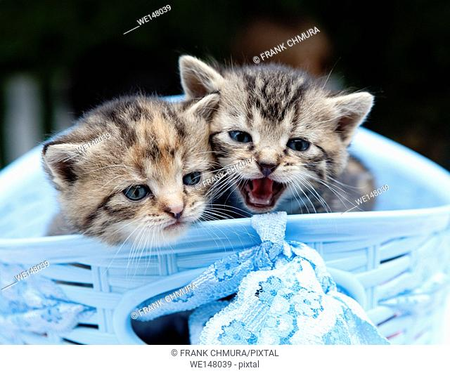 Kittens in a Blue Basket Outdoors