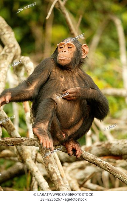Chimpanzees, Conkouati, Congo