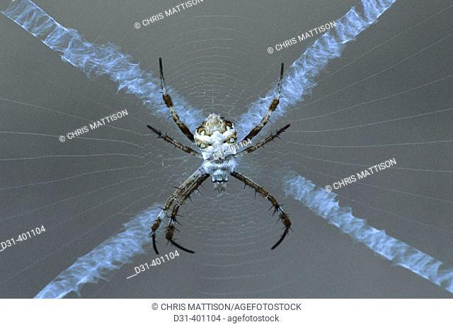 Orb web spider, Argiope species. Ampijoroa. Madagascar