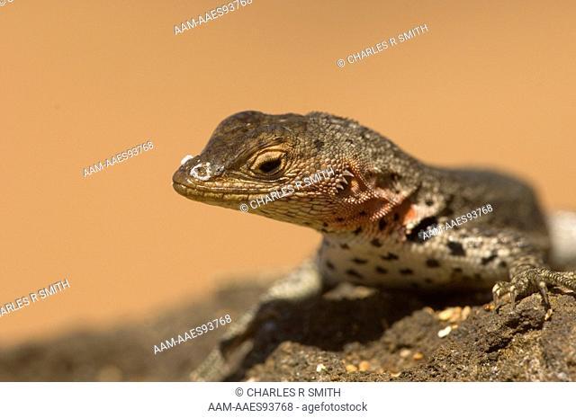 Lava lizard (Microlophus albemarlensis), Bartolome Island, Galapagos, Ecuador on 5/19/06