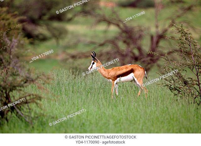 Springbok Antidorcas marsupialis, in the bush in rainy season, Kgalagadi Transfrontier Park, Kalahari desert, South Africa