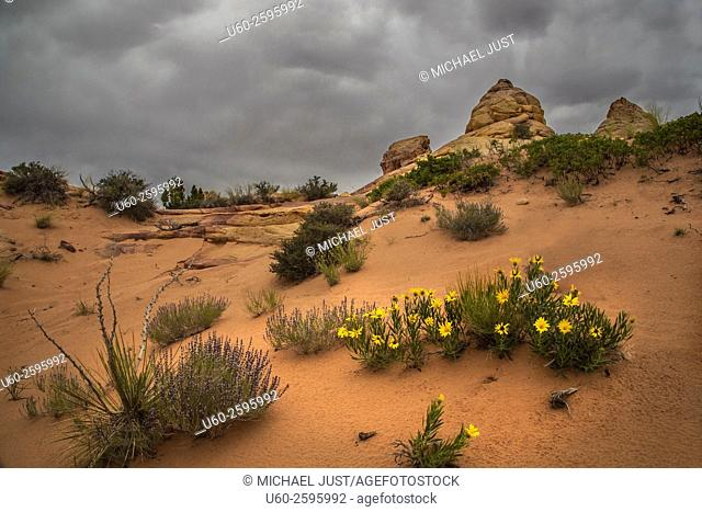 Wildflowers are blooming at South Coyote Buttes at Vermillion Cliffs National Monument, Arizona