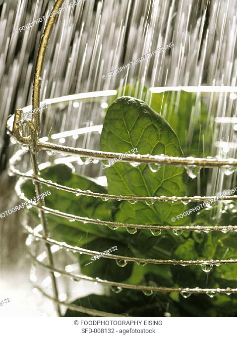 Spinach is being washed