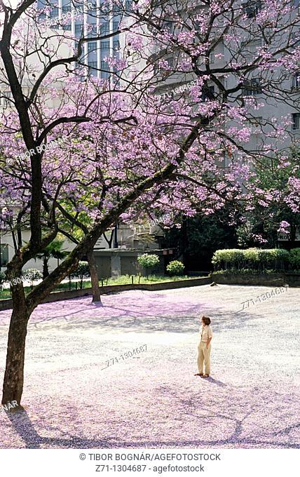 Brazil, Sao Paulo, park, flowering jacaranda tree