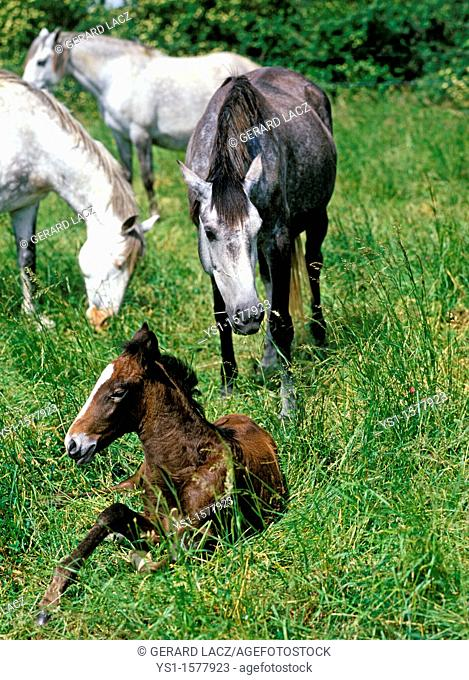 Lusitano Horse, Mares with Foal in Meadow