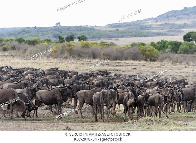 Wildebeest (Connochaetes taurinus) approching the river Mara, Masai Mara, Kenya