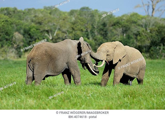 African Elephant (Loxodonta africana), bulls, play fighting, Sweetwater Game Reserve, Kenya