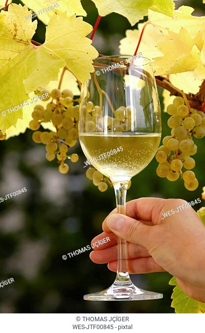 Hand holding glass of wine in front of vine